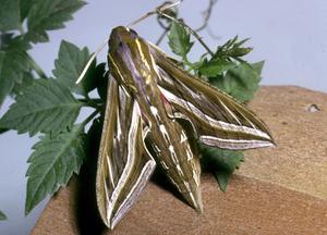 Grapevine hawk moth