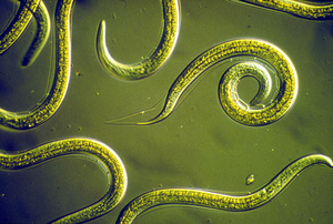 Group of Nematodes