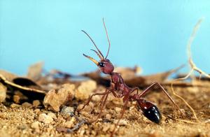 A Bull Ant
