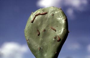 Larvae of Cactoblastis cactorum