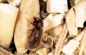 Drugstore beetle - Stegobium paniceum.