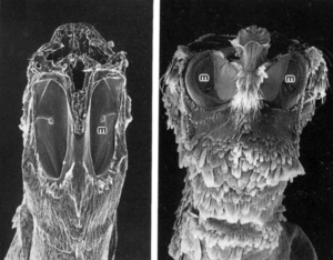 The Hearing Organs of Two Moths