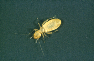 A psocid or book louse