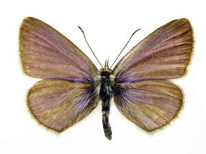 A Common Grass Blue Butterfly