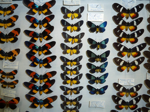 Australian butterflies at the National Insect Collection