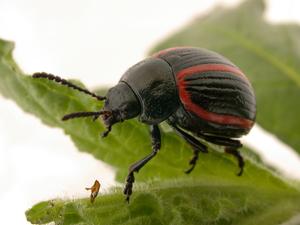 An Adult Leaf Feeding Beetle