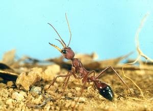 A Myrmecia gulosa Bull Ant