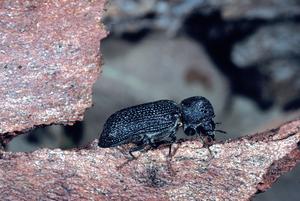 An Auger Beetle Borer