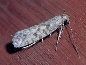 A Clothes Moth