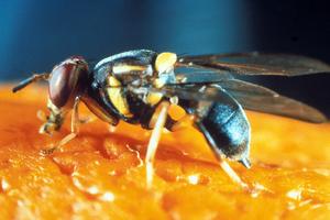 A Fruit Fly