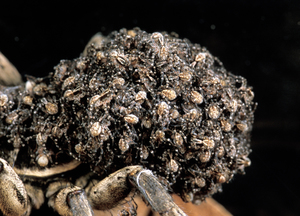 A Mother Godeffroy's Wolf Spider with Spiderlings