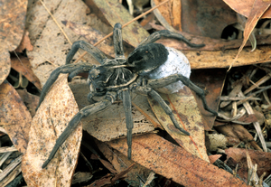 A Female Godeffroy's Wolf Spider with Egg Sac