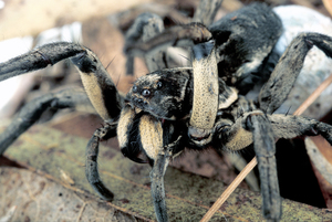 Female Godeffroy's Wolf Spider and Egg Sac
