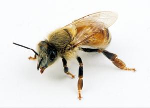 Female Worker Bee