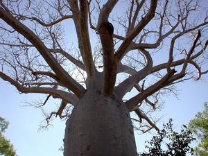 Boab tree (Adansonia gregorii) in Gregory national park NT