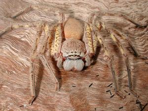 A Huntsman Spider