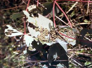 Autumn Gum Moth caterpillers