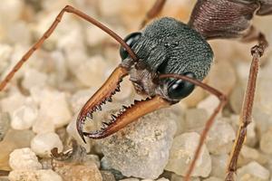 Bull ant, Myrmecia sp.
