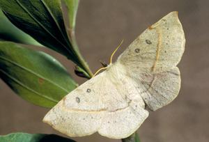 Anthela acuta (Anthelidae)