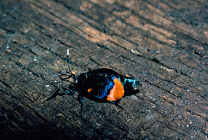 Cebysa leucotelus (Psychidae)