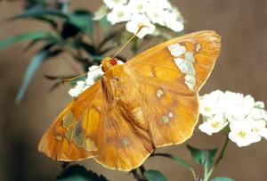 Chaetocneme beata (Hesperiidae)