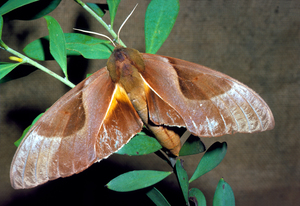 Coequosa triangularis (Sphingidae)
