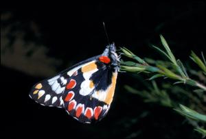 Delias aganippe (Pieridae)