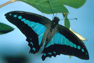Graphium sarpedon (Papilionidae)