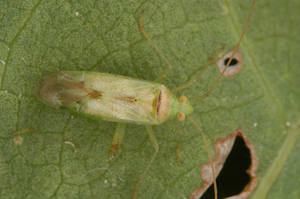 A green mirid, Creontiades dilutus