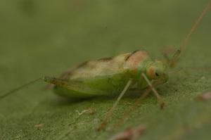 A green mirid, Creontiades dilutus