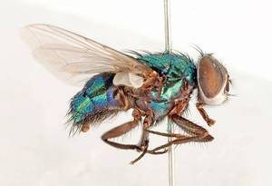 A pinned Australian sheep blowfly