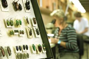 Beetles on a display board at ANIC