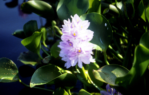 Water hyacinth and flower