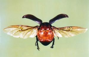 Beetle hindwings as seen on Rhinocerous Beetle – Xylotrupes gideon