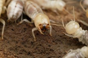 Mastotermes darwiniensis - Giant Northern Termite