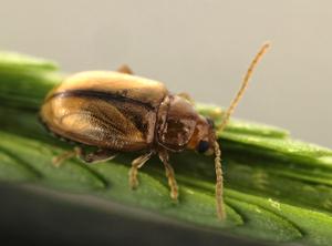 Adult mimosa flea beetle, Nesaecrepida infuscata