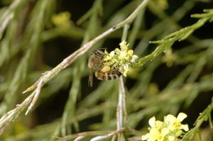 European honeybee, Apis mellifera, gathering pollen