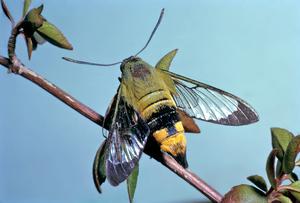 Bee hawk moth