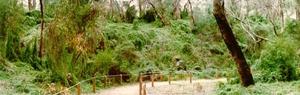 Bridal creeper infestation at Boomerange Gorge, Yanchep National Park, WA.