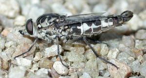 A pollen feeding fly