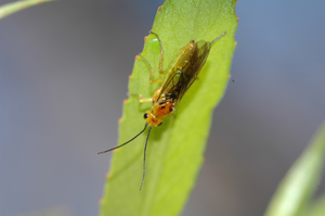 Adult willow sawfly