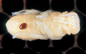 A varroa mite, Varroa destructor, on a honeybee pupa