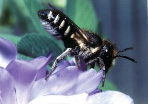 Leafcutter bee - Megachile rotundata - on lucerne flowers