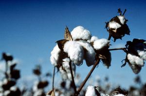 Cotton Bearing Cotton Plant