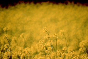 Close up of Canola Crop