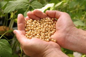 Bunya soybeans