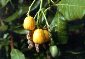 Developing Cashew Fruit