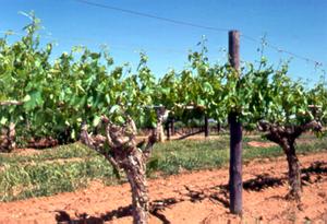 Sultana Grape Vines