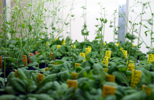 Arabidopsis in growth cabinet at the CSIRO Discovery Centre labs, Black Mountain, ACT