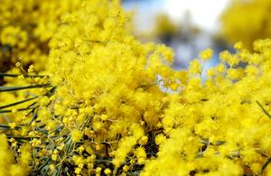 Wattle (Acacia sp.) flowers